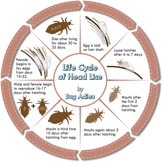 Facts Anti Lice Angel